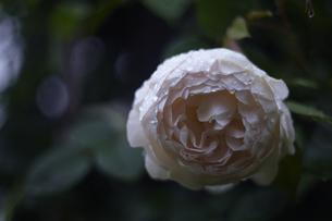 軽井沢レイクガーデン 薔薇の素材 [FYI00221435]