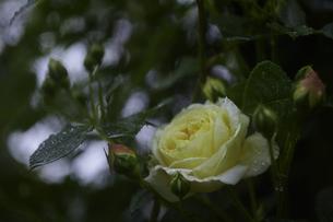 軽井沢レイクガーデン 薔薇の素材 [FYI00221436]