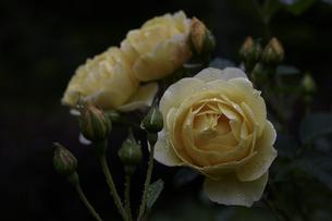 軽井沢レイクガーデン 薔薇の素材 [FYI00221438]