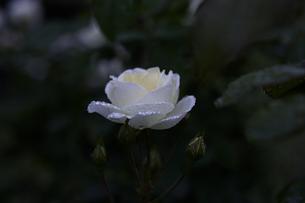 軽井沢レイクガーデン 薔薇の素材 [FYI00221451]