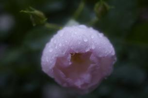 軽井沢レイクガーデン 薔薇の素材 [FYI00221453]