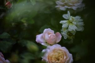軽井沢レイクガーデン 薔薇の素材 [FYI00221459]