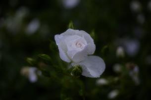 軽井沢レイクガーデン 薔薇の素材 [FYI00221461]
