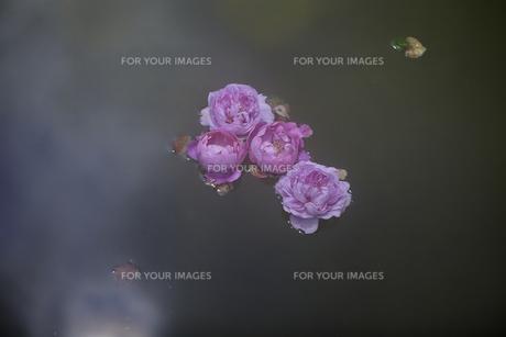 軽井沢レイクガーデン 水面の薔薇の写真素材 [FYI00221469]