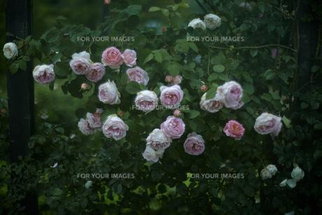 軽井沢レイクガーデン 薔薇の写真素材 [FYI00221470]