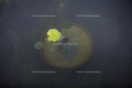 軽井沢レイクガーデン 水面の薔薇の写真素材 [FYI00221471]
