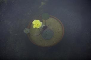 軽井沢レイクガーデン 水面の薔薇の素材 [FYI00221471]