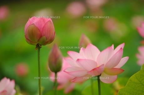大賀ハスの蕾と花の素材 [FYI00221631]