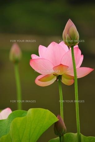 古代ハスの花と蕾の素材 [FYI00221659]
