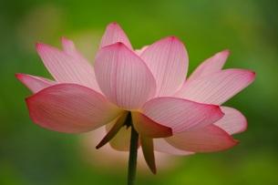 古代蓮の花のアップの素材 [FYI00221663]