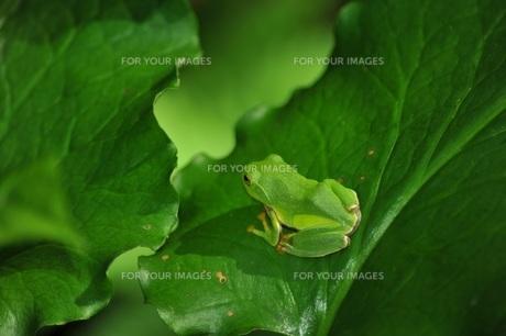 カエルの後姿の写真素材 [FYI00221712]
