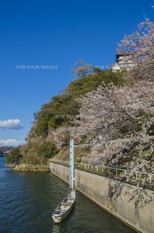 愛知県、犬山城と桜の素材 [FYI00221955]