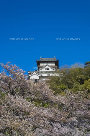 愛知県、犬山城と桜の素材 [FYI00221963]