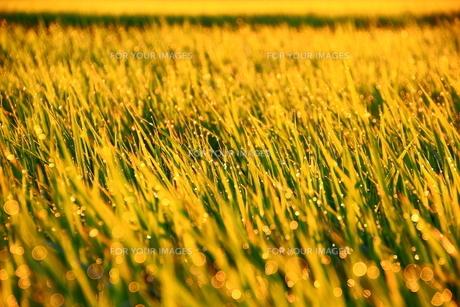 朝日に輝く稲の素材 [FYI00222044]