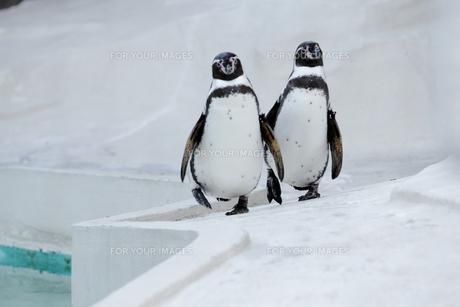 ペンギン兄弟の写真素材 [FYI00222307]