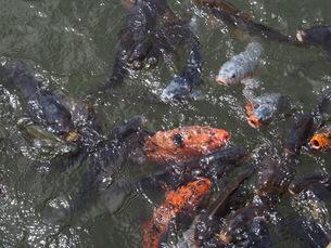 たくさんの鯉の写真素材 [FYI00222330]