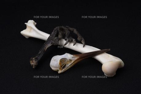 骨の集合の写真素材 [FYI00222433]