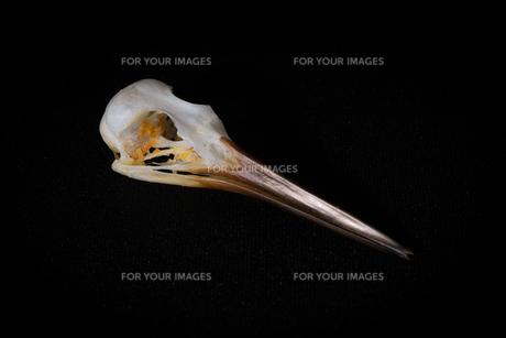 鳥の頭骨の写真素材 [FYI00222435]
