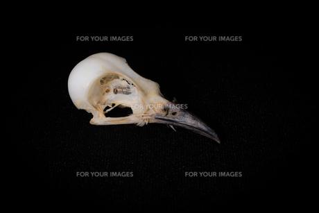 鳥の頭骨の写真素材 [FYI00222436]
