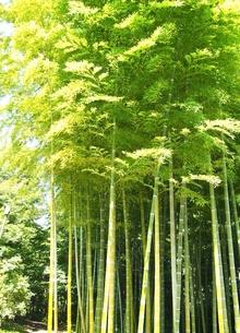 竹林の素材 [FYI00222567]
