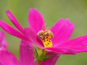 コスモスとミツバチの写真素材 [FYI00222587]