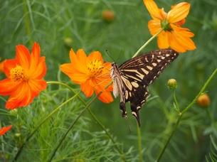 コスモスと蝶の写真素材 [FYI00222607]