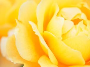 黄色のバラの写真素材 [FYI00222711]