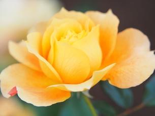 黄色のバラの写真素材 [FYI00222728]
