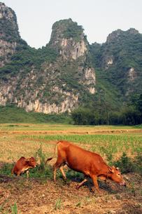 中国・英西峰林走廊と放牧牛の写真素材 [FYI00222747]