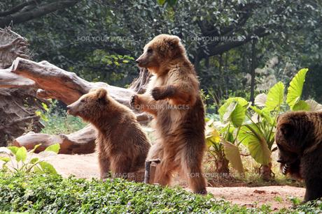 立ち上がる子熊の素材 [FYI00222758]