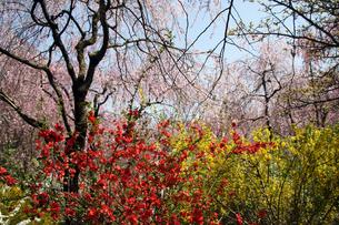 しだれ桜・レンギョウ・木瓜の写真素材 [FYI00222796]