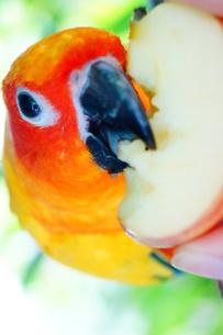 りんごを食べるインコの写真素材 [FYI00222851]
