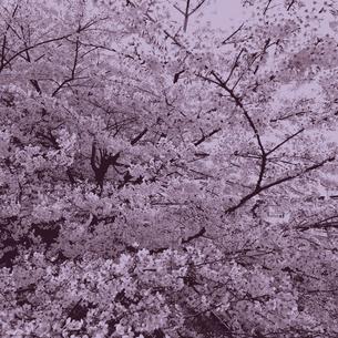 一面桜の花の写真素材 [FYI00222976]