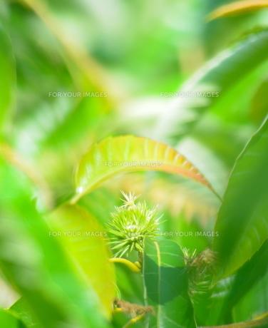 小さな青い栗のイガの写真素材 [FYI00223010]