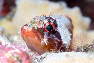 イソカサゴの光る眼の写真素材 [FYI00223039]