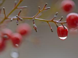 赤い木の実と水滴の素材 [FYI00223395]
