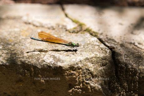 蜻蛉の写真素材 [FYI00223421]