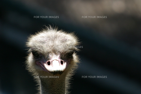 ダチョウの顔の写真素材 [FYI00223576]