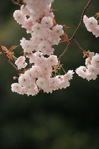 桜の写真素材 [FYI00223603]