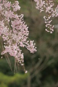 桜の写真素材 [FYI00223611]