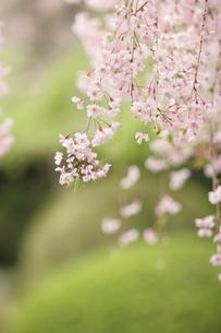 桜の写真素材 [FYI00223617]