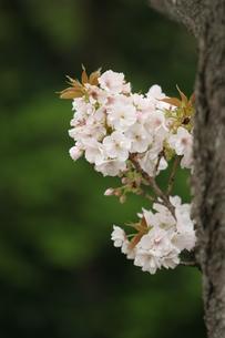 桜の写真素材 [FYI00223618]
