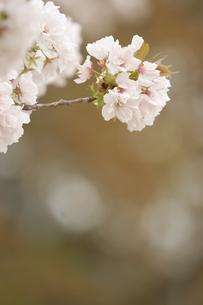 桜の写真素材 [FYI00223619]