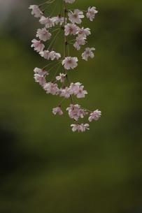 桜の写真素材 [FYI00223621]