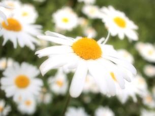 白い花の写真素材 [FYI00223630]