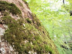 樹と苔の写真素材 [FYI00223650]