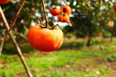 柿の写真素材 [FYI00223821]