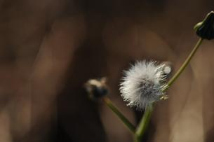 タンポポの綿毛の写真素材 [FYI00223844]