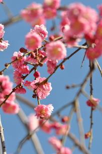桃の花の写真素材 [FYI00223870]