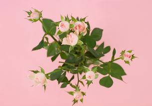 ピンク背景のミニバラを俯瞰での写真素材 [FYI00223877]